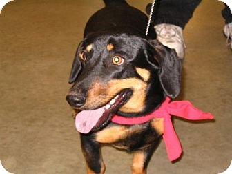 Dachshund Mix Dog for adoption in Melrose, Florida - Benny