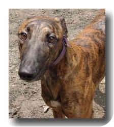 Greyhound Dog for adoption in Roanoke, Virginia - Cletus