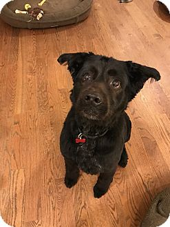 Flat-Coated Retriever/Spaniel (Unknown Type) Mix Dog for adoption in Bedford Hills, New York - Oakley