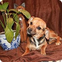 Adopt A Pet :: Bear - Salem, NH
