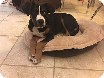 Bernese Mountain Dog Mix Puppy for adoption in Vancouver, British Columbia - Bernie