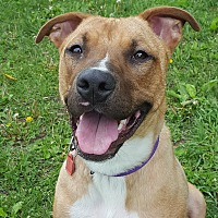 American Staffordshire Terrier Mix Dog for adoption in Grayslake, Illinois - Nikki