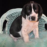 Adopt A Pet :: Hefty (puppy) - Crocker, MO