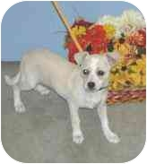 Terrier (Unknown Type, Small)/Chihuahua Mix Puppy for adoption in Port Lavaca, Texas - Crissie