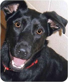 Labrador Retriever/Border Collie Mix Dog for adoption in Grass Valley, California - Antonio
