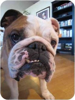 English Bulldog Dog for adoption in Park Ridge, Illinois - Bob