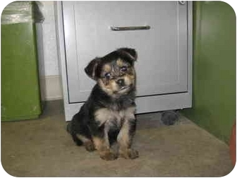 Yorkie, Yorkshire Terrier Mix Puppy for adoption in Rock Springs, Wyoming - Grizz