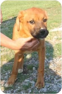 Labrador Retriever/Boxer Mix Dog for adoption in Hopkinsville, Kentucky - Winnie