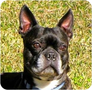 Boston Terrier Dog for adoption in North Augusta, South Carolina - FRANKIE