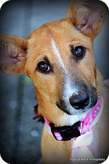 Labrador Retriever Mix Puppy for adoption in Boynton Beach, Florida - Fiji