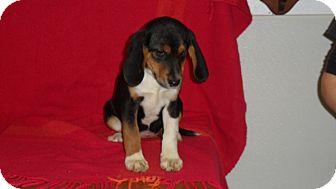Beagle/Flat-Coated Retriever Mix Puppy for adoption in Seattle, Washington - mist