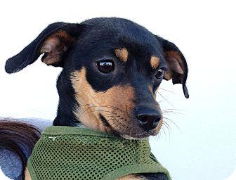 Dachshund/Miniature Pinscher Mix Puppy for adoption in Los Angeles, California - Minnie