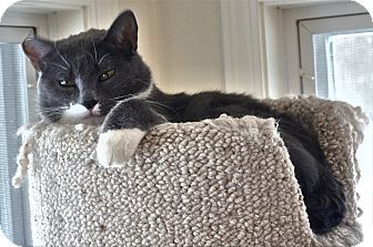 American Shorthair Cat for adoption in Victor, New York - Elvis