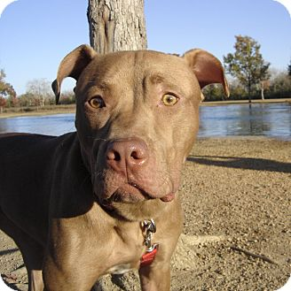Catahoula Leopard Dog/Pit Bull Terrier Mix Dog for adoption in Houston, Texas - PRINCESS