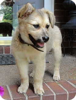 Shepherd (Unknown Type)/Chow Chow Mix Puppy for adoption in Salem, New Hampshire - PUPPY MILEY