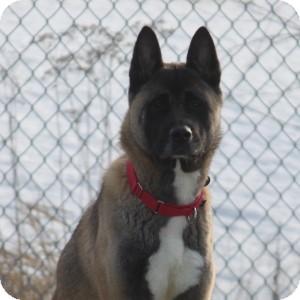Akita Mix Dog for adoption in Naperville, Illinois - Raina