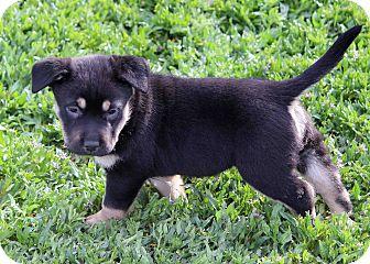 Shar Pei/Labrador Retriever Mix Puppy for adoption in Westminster, Colorado - Jagger