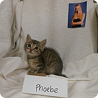 Adopt A Pet :: Phoebe - Maywood, NJ