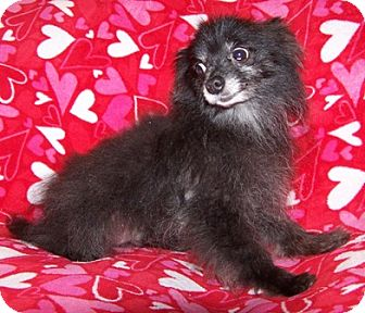 Pomeranian Dog for adoption in Old Fort, North Carolina - Bo Bo-Adopted 2011