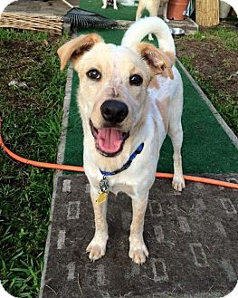Labrador Retriever/Terrier (Unknown Type, Medium) Mix Puppy for adoption in Palmetto Bay, Florida - Larry