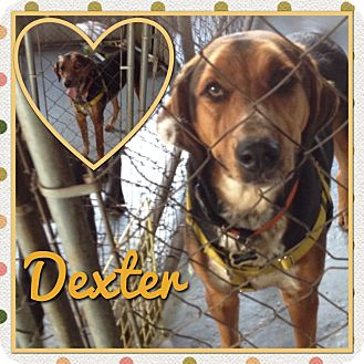 Catahoula Leopard Dog Mix Dog for adoption in East Hartford, Connecticut - Dexter in CT