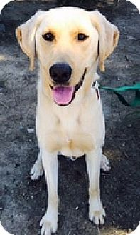 Labrador Retriever Dog for adoption in Torrance, California - Taz