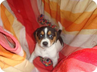Beagle Mix Puppy for adoption in Old Bridge, New Jersey - Lainie