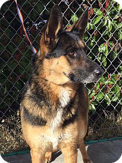 German Shepherd Dog Mix Dog for adoption in Grants Pass, Oregon - Lola