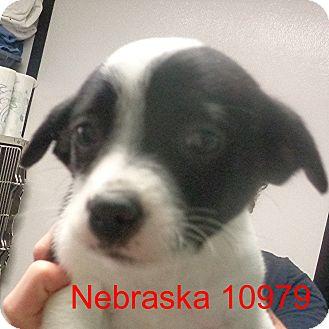 Australian Kelpie/Spitz (Unknown Type, Small) Mix Puppy for adoption in Manassas, Virginia - Nebraska