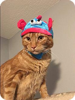 Domestic Shorthair Cat for adoption in Scottsdale, Arizona - Chili