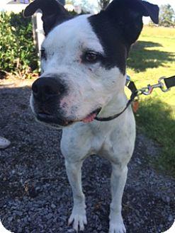 Pit Bull Terrier/Boxer Mix Dog for adoption in Vancouver, Washington - Greta