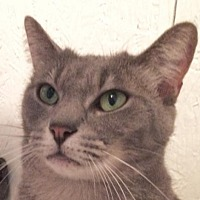 Domestic Shorthair Cat for adoption in Montreal, Quebec - Sassy