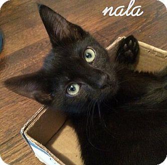 American Shorthair Kitten for adoption in New York, New York - Nala