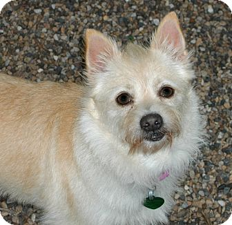 Spitz (Unknown Type, Small)/Terrier (Unknown Type, Small) Mix Dog for adoption in Newell, Iowa - Darcy