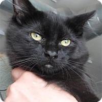 Domestic Longhair Kitten for adoption in Waupaca, Wisconsin - Snowball
