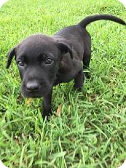 Labrador Retriever/German Shepherd Dog Mix Puppy for adoption in New Smyrna Beach, Florida - Cole