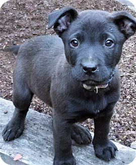 Catahoula Leopard Dog/Mountain Cur Mix Puppy for adoption in Saratoga Springs, New York - Lilly ~ ADOPTED!