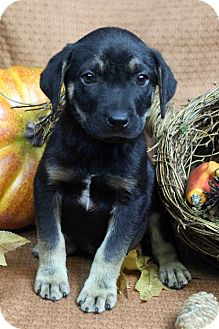 Shepherd (Unknown Type) Mix Puppy for adoption in Westminster, Colorado - CARLSON