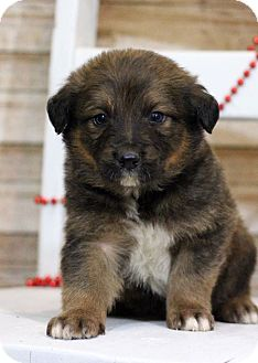 Australian Shepherd Mix Puppy for adoption in Waldorf, Maryland - Donner