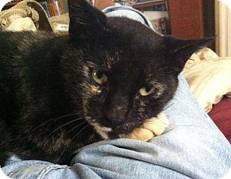 Calico Cat for adoption in Jacksonville, Florida - Calypso
