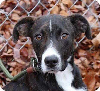 Mountain Cur Mix Puppy for adoption in Harrisonburg, Virginia - Trigger