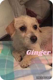 Terrier (Unknown Type, Medium) Mix Dog for adoption in Mesa, Arizona - GINGER - 1 YEAR TERRIER MIX FE