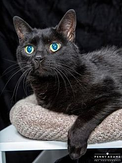 Domestic Shorthair Cat for adoption in Franklin, Tennessee - LULU