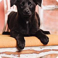 Adopt A Pet :: Windy - Portland, OR