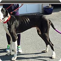 Adopt A Pet :: Tank - York, PA
