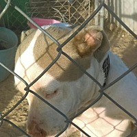American Pit Bull Terrier Dog for adoption in Tonopah, Arizona - Brittany