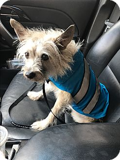 Cairn Terrier/Terrier (Unknown Type, Small) Mix Dog for adoption in Vancouver, British Columbia - Frankie