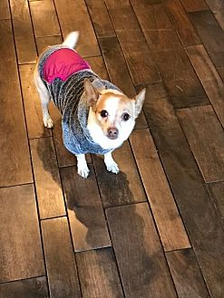 Chihuahua/Terrier (Unknown Type, Medium) Mix Dog for adoption in Scotts Valley, California - Minnie