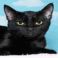 Domestic Mediumhair Cat for adoption in Alameda, California - GRIFFIN