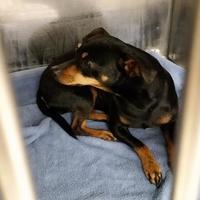 Adopt A Pet :: Niblet - Tulsa, OK